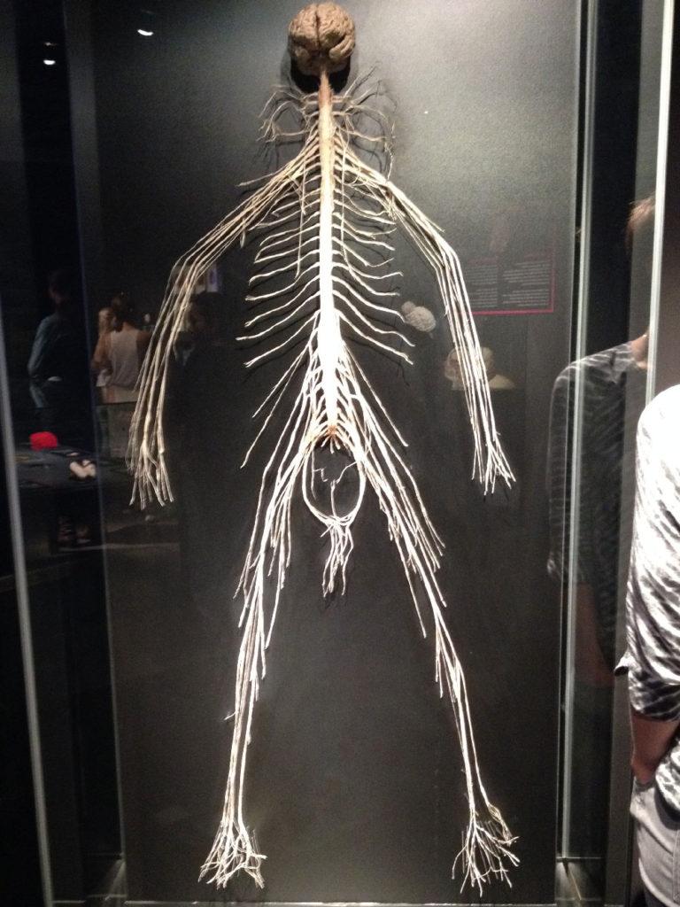 brain-ganglia-and-nerves